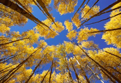 Autumn Aspen look up